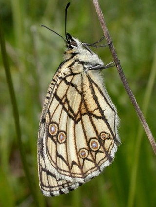 Spanish Marbled White